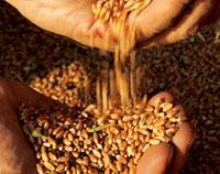 Selección de granos Molinos Ararat